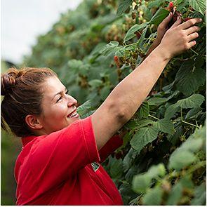 A raspberry picker on Tuesley Farm