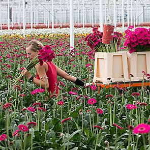 Meet our gerbera growers