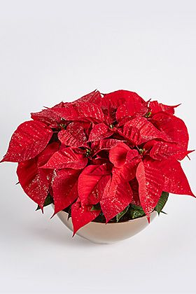 Christmas sparkling poinsettia bowl