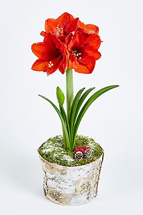Christmas amaryllis bark pot