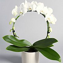 White orchid in a vase